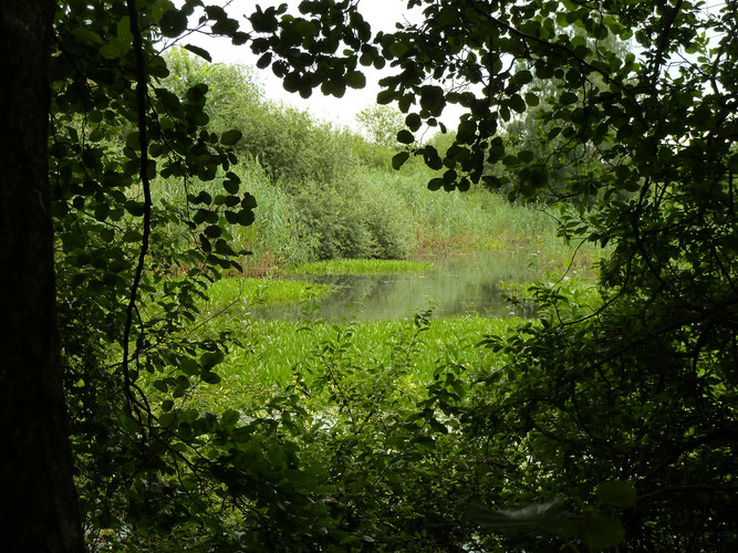 Juli 2016 - Blick auf den südlichen Teich mit Krebsschere, vor dem Freischneiden der Ufer im Winter (c) Ingo Ahrens