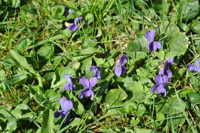 März-Veilchen, Winsen, April 2013