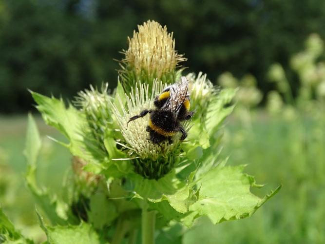 Kohl-Distel mit Erdhummel. Kohldisteln sind sehr wertvolle Bienenweiden. 25. Juli 2018,  Winsen (Luhe)