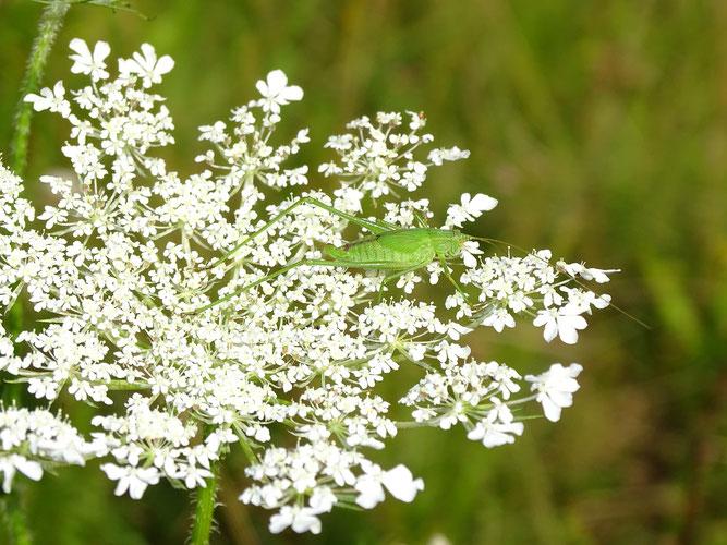 Gemeine Sichelschrecke, Weibchen, August 2014, Salzhausen ©: D. Westphal