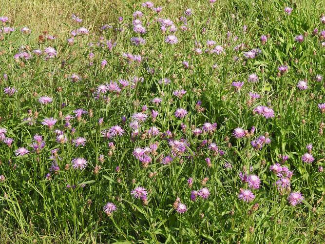 Wiesen-Flockenblumen im NSG Ilmenau-Luhe-Niederung. 29. August 2020