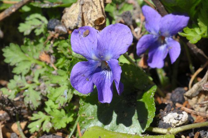 März-Veilchen, Winsen, März 2012