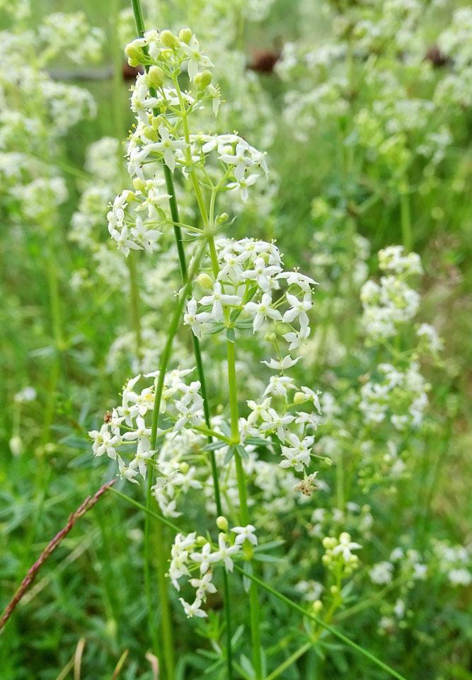 Wiesen-Labkraut, Blütenstand  4. Juli 2017, Scharmbeck