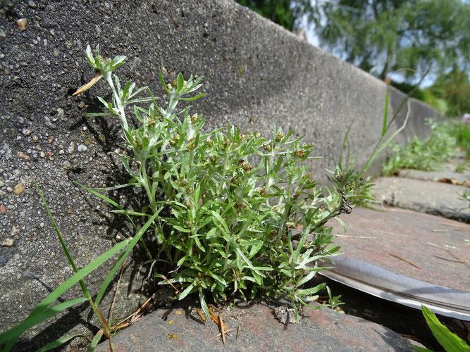 Sumpf-Ruhrkraut zwischen Pflastersteinen. Winsen, 30. Juli 2017