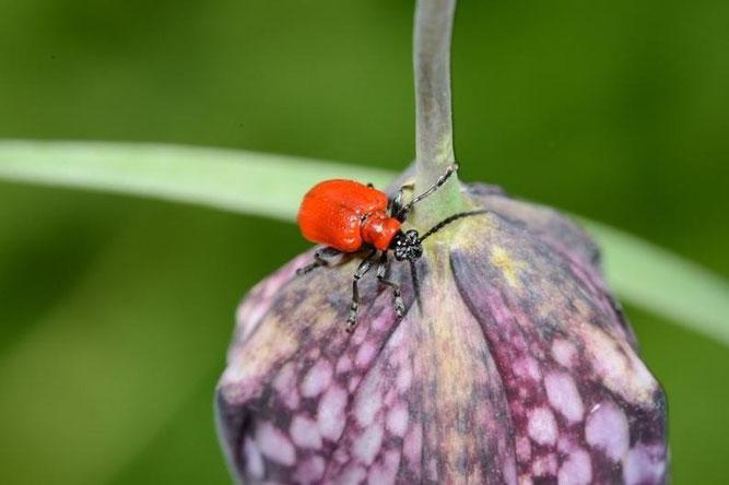 Lilienhähnchen auf Schachblume (D. Westphal)