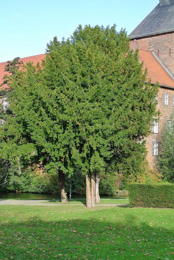 Europäische Eibe, älteres Exemplar. Winsen, Schlosspark. 30. September 2012