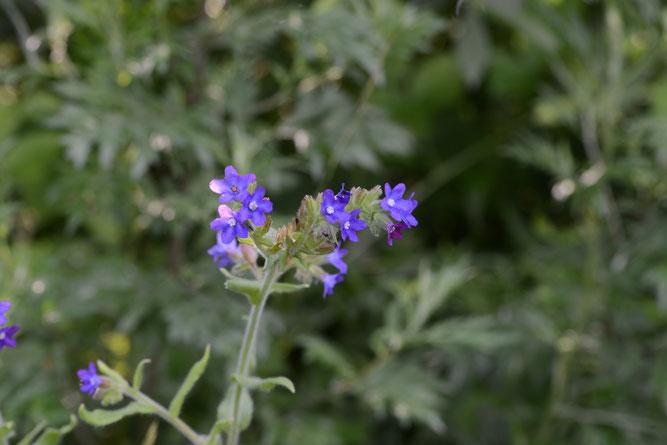 Gewöhnliche Ochsenzunge, Teil des Blütenstandes und obere Stängeblätter. Fahrenholz, 2. Juli 2021