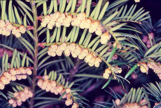 Eibe, männliche Blüten an zweizeilig benadelten Zweigen. Winsen. 12. April 1987