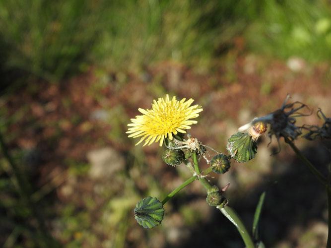 Blütenstand der Kohl-Gänsedistel mit ihren hellgelben Zungenblüten. Winsen, 21.10.2019
