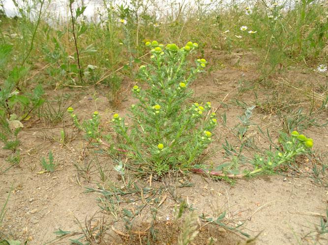 Strahlenlose Kamille, ein Prachtexemplar in der Sandgrube. Holtorfsloh, 3. Juli 2019