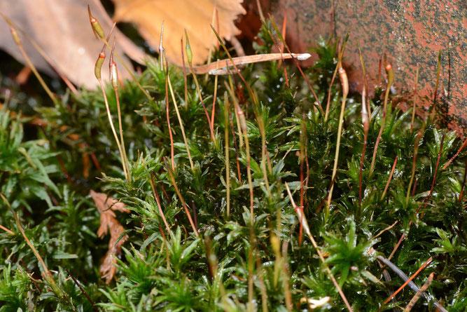 Gewelltes Katharinenmoos (Atrichum undulatum). 3. Dezember 2018, Winsen