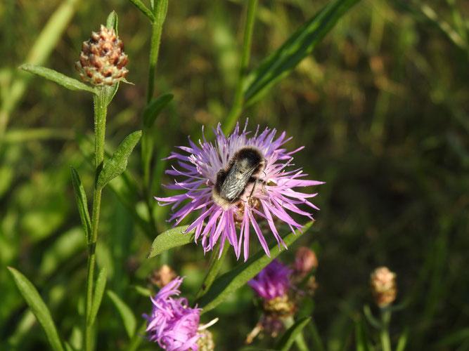 Wiesen-Flockenblume, Blütenkörbchen mit Hummel. NSG Ilmenau-Luhe-Niederung, 29. August 2020