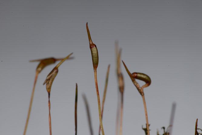 Gewelltes Katharinenmoos (Atrichum undulatum), einzelne Sporenkapseln. 3. Dezember 2018, Winsen