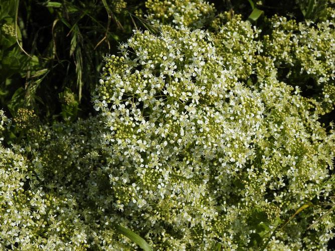 Pfeilkresse, Blütenstand mit Knospen und offenen Blüten. Helgoland (Oberland), Juni 2021