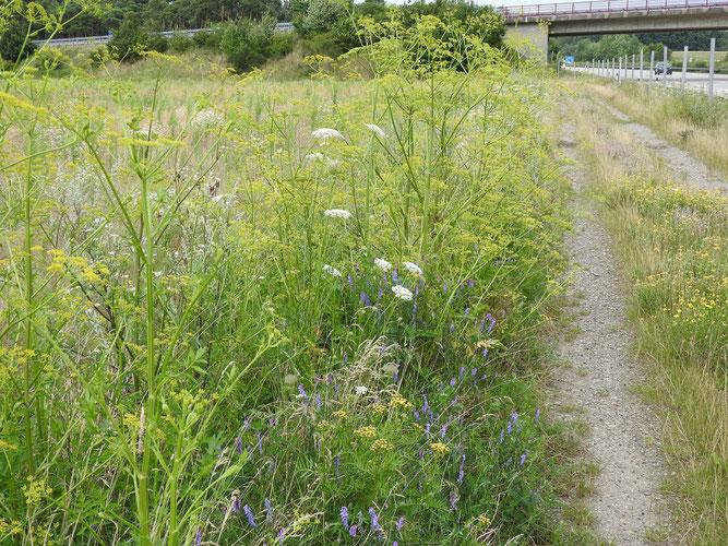 Pastinak und andere Wildpflanzen am Wegrand. 25. Juli 2020, bei Evendorf