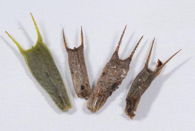 Dreiteiliger Zweizahn, Samen mit Grannen und Widerhaken. Drage, 4. September 2018