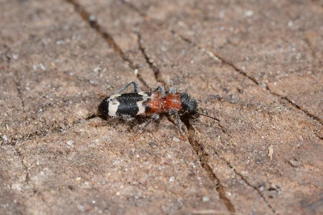 Ameisen-Buntkäfer (c) Dietrich Westphal