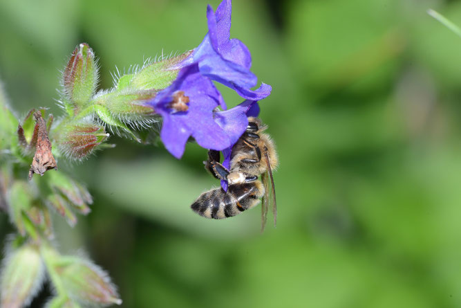 Gewöhnliche Ochsenzunge mit Besuch durch eine Honigbiene. Fahrenholz, 2. Juli 2021