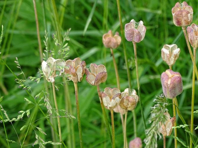 Am 30. Mai sind die Kapseln reif und haben sich geöffnet. Die Samen sind weitgehend ausgefallen.