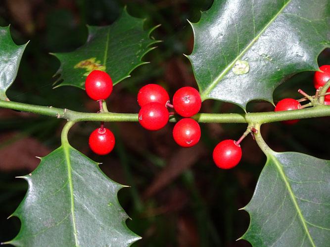 Ilex, Früchte und Blätter mit Stacheln. 4. November 2017, Winsen