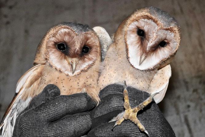 Zwei der ursprünglich sieben Jungtiere, OT Nienbrügge 2019