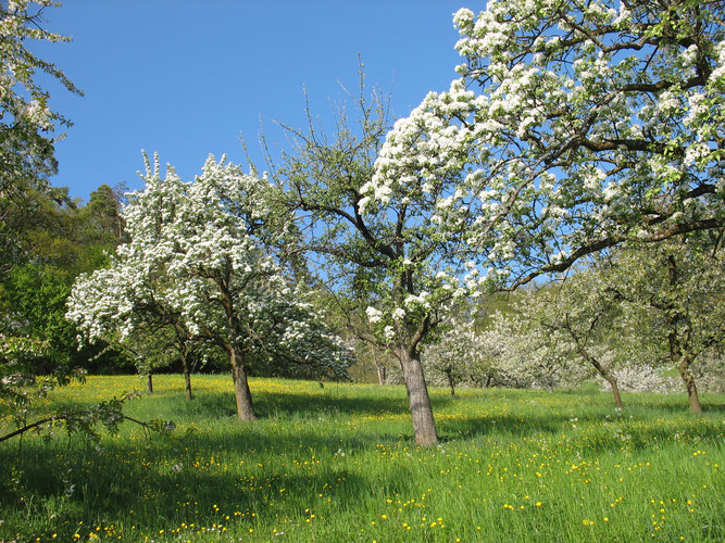 Streuobstwiese im Frühling: [Foto: NABU/Hannes Huber]
