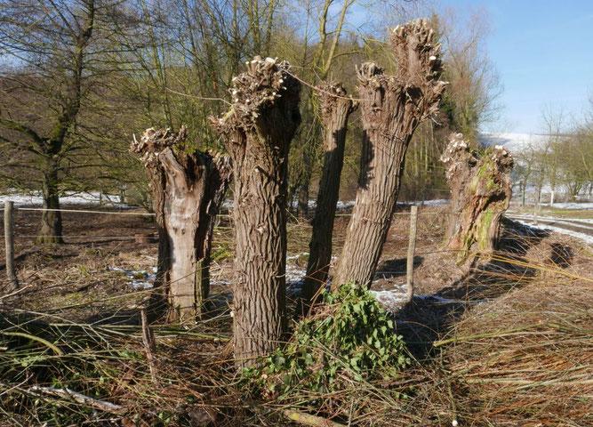 Pflegeschnitt für die Weiden an der Aue in Bernsen am Klärwerk Auetal -                               Foto: M. Krause
