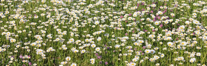 Wiese mit Margeriten - Aktion Blumenwiese des NABU RV Spremberg