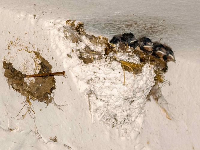 Junge Rauchschwalben im Nest. - Foto: Kathy Büscher