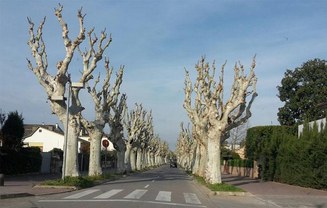 Frisch geschnittene Platanienallee im März in Katalonien. (Foto: NABU Erfurt)