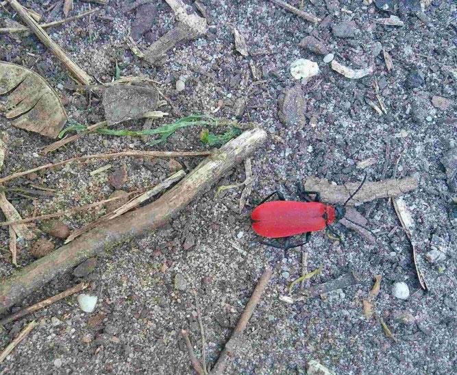 Pyrochroa coccinea / Scharlachroter Feuerkäfer (c) Foto M. Fluck