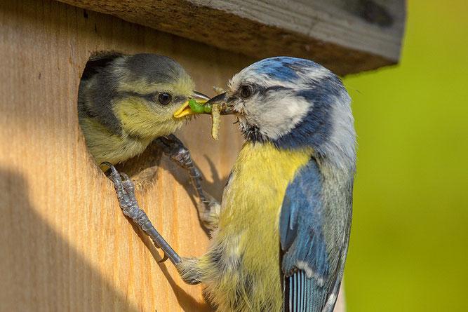 Auch Vögel, die gerne Körner fressen, füttern ihre Jungen mit Insekten. NABU/Rita Priemer