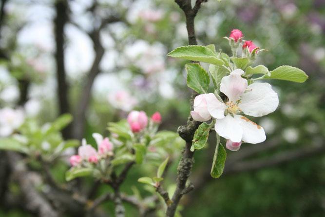 Die Blüten von Obstbäumen werden gerne von Insekten besucht. Foto: NABU / Eric Neuling