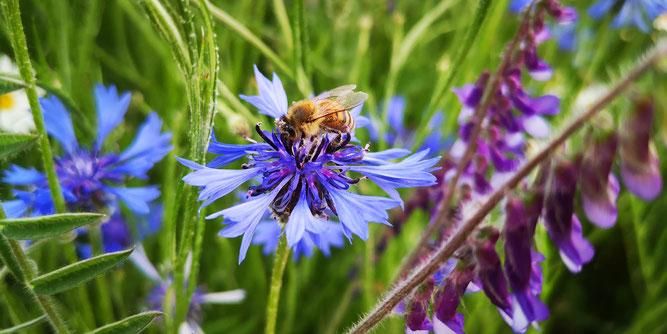 Unsere Insekten sind an die heimischen Blumen angepasst. Foto: NABU/CEWE/Jenny Krämer-Eder