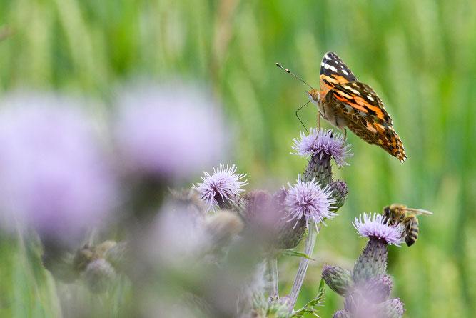 Insektenvielfalt auf blühender Wiese. Foto: NABU / CEWE / Dagmar Gernt