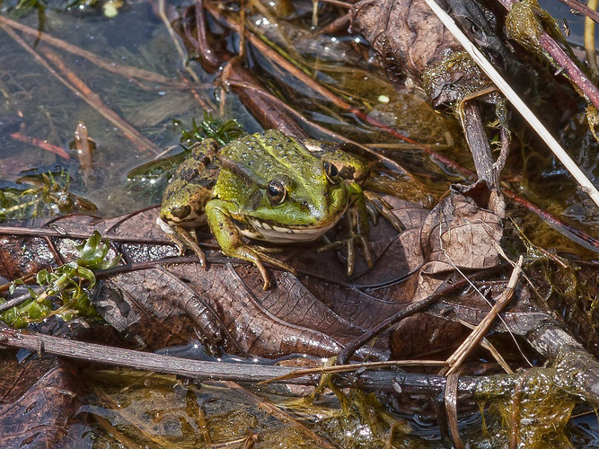Das Projekt fördert auch die Vielfalt an Amphibien. Foto: NABU