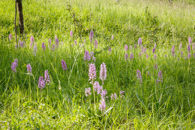 Ausschnitt aus einer Orchideenwiese im Kreis Ahrweiler / Foto: Andreas Sebald