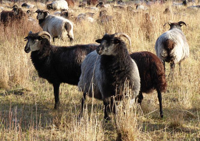 Wollige Rasenmäher im Einsatz für den Artenschutz. Foto: S. Pils