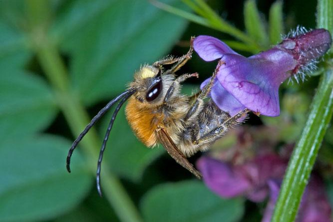 Mai-Langhornbiene ist Wildbiene des Jahres 2021  (Bild:Heiko Bellmann)