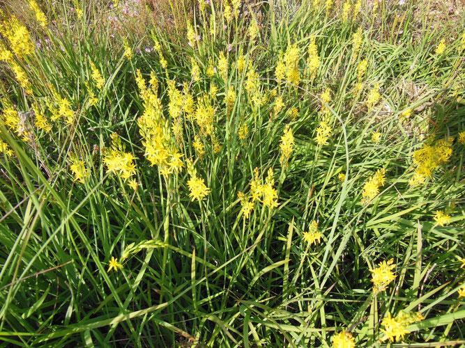 Moorlilie, auch Beinbrech genannt