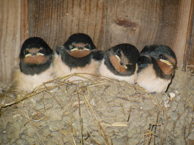 Junge Rauchschwalben im Nest (alle Fotos: D. Wensel)