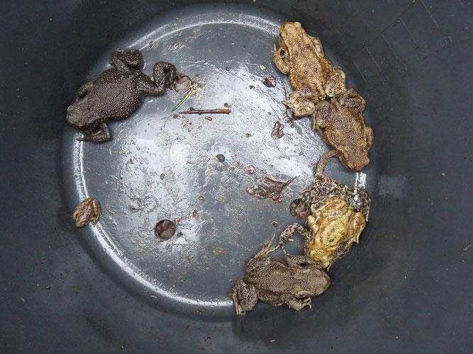 Bunter Mix im Fangeimer (alles Erdkröten)