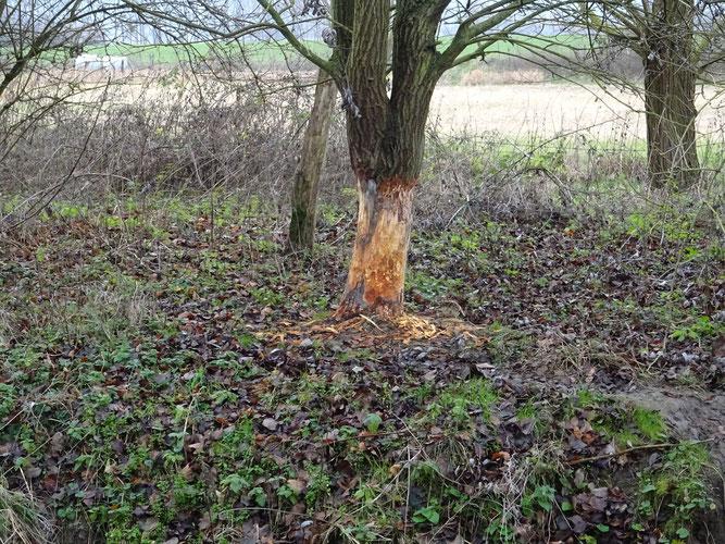 Stark abgenagte Baumrinde rund um einen mittelgroßen Baum