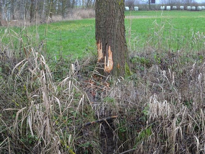 Frische Fraßspuren an einem Baumstamm