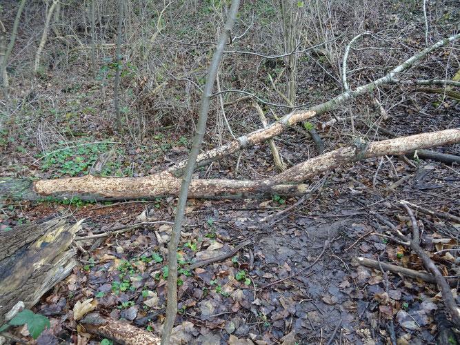Abgenagter Ast auf dem Waldboden