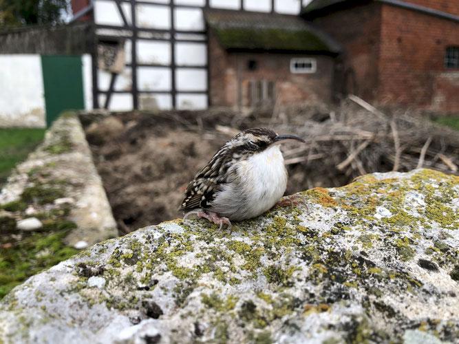 Singvogel sitzt auf Mauer mit geschlossenen Augen