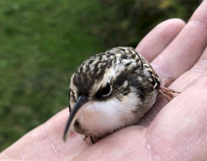 Geretteter Singvogel auf der Hand