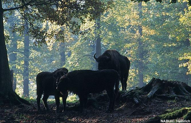 Wisente im Wald - Foto: NABU/C. Heinrich