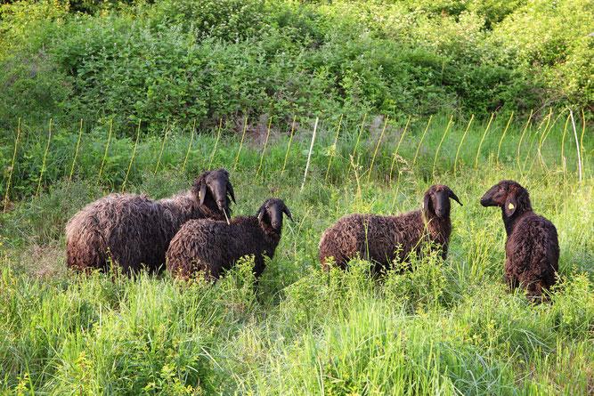 Die kleine Herde Karakulschafe (Foto:NABU-Oberbiel)