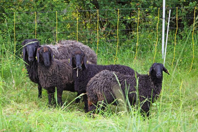 Karakulschafe auf der Weide (Foto:NABU-Oberbiel)